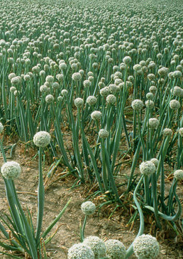 Autoproduzione dei semi for Aglio pianta